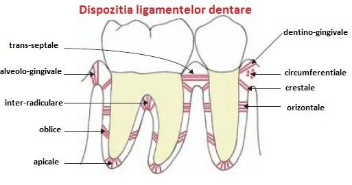 ligamentele_dentare
