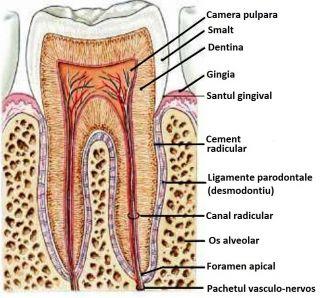 parodontiu_mod111